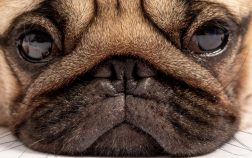 Do Pugs Eyes Pop Out And Why