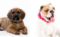 English Bulldog Puggle Mix Information Everything You Need to Know