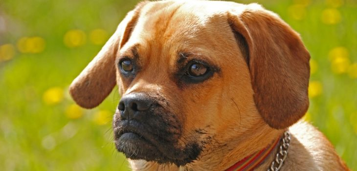 How Much Does A Puggle Cost?
