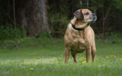 How Much Should a Puggle Weigh