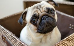 Is A Pug Right For Me