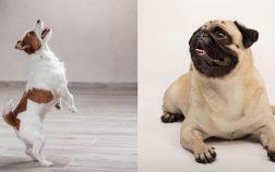 Pugs with Longer Snouts