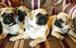 There Are Many Good Names For Pugs
