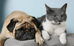 Are Pugs Good With Cats In Your House