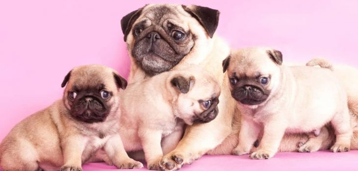 How Many Puppies Do Pugs Have