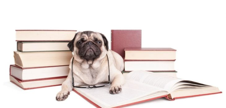 How Smart Are Pugs