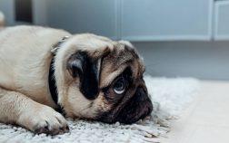 Leaving Pugs Home Alone