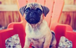 Pugs Mixed With Chihuahua