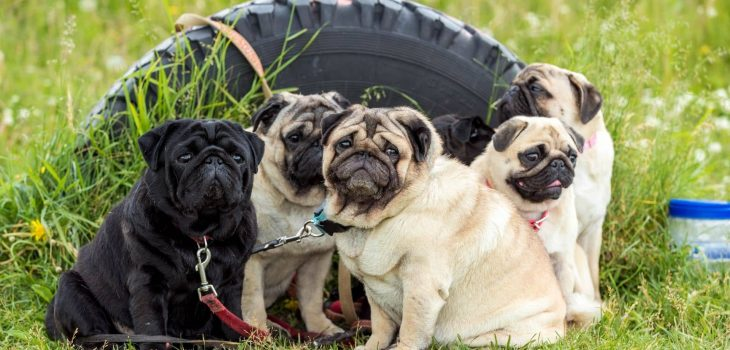The Average Life Span Of Pugs