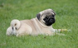 Why Do Pugs Have Curly Tails