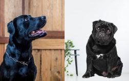 Black Labrador Pug Mix