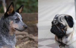 Blue Heeler Pug Mix When Australia Meets Europe
