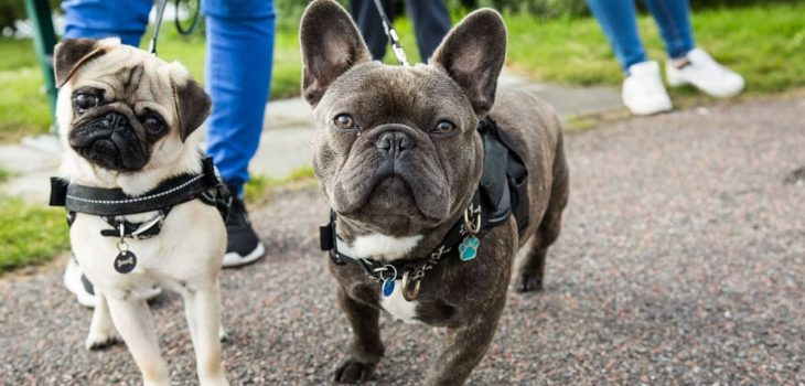 French Bulldog Mixed With Pug