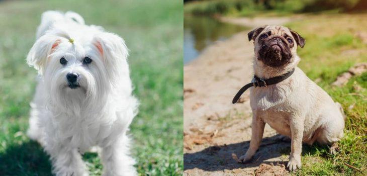 Maltese and Pug Mix