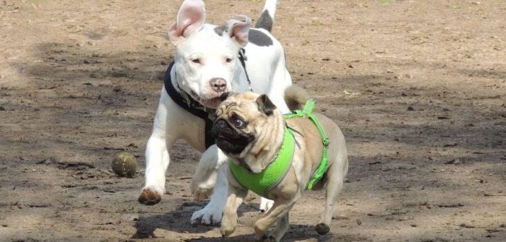 Pug Mixed With Pitbull