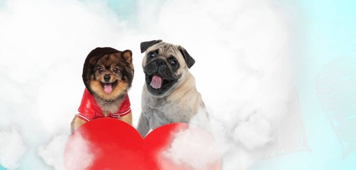 Pug Pom Mix- What You Have To Know