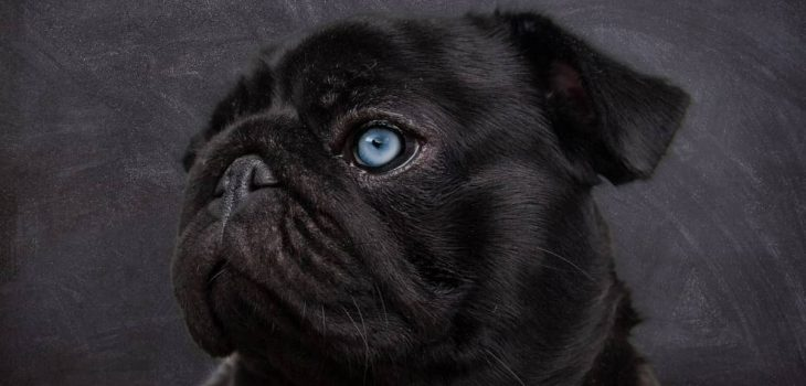 Pugs With Blue Eyes