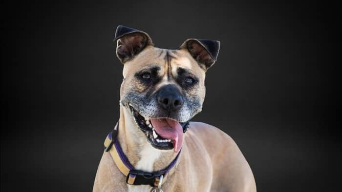 boxer mix with pug