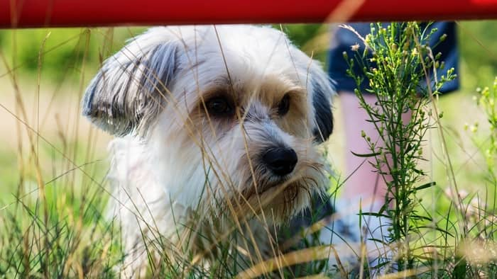 pug cross maltese