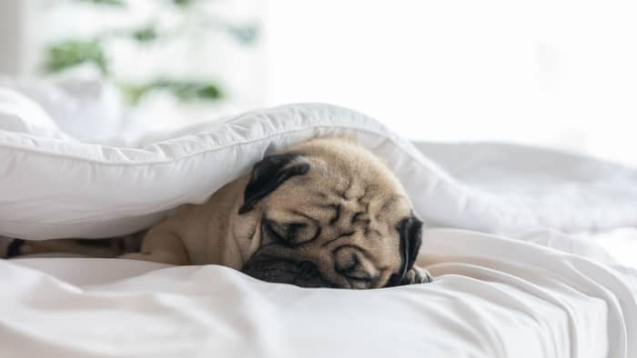 dog under covers