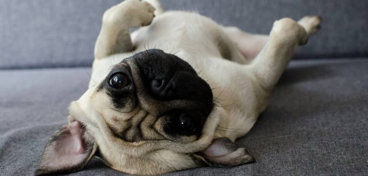 Dog Rolls Over On Back When Approached 7 Most Common Reasons