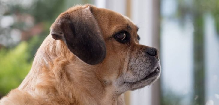 The Average Lifespan Of A Puggle How Can A Pet Parent Help Increase It