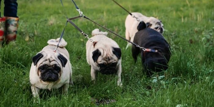 What Do You Call A Group Of Pugs